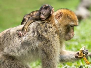 Estudios del autismo con monos modificados genéticamente
